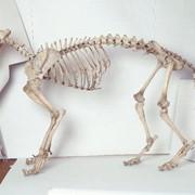 Скелеты животных и человека фото