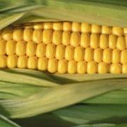 Кукуруза консервированная фото