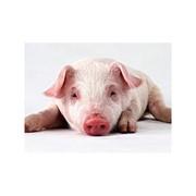 Премикс КС-2 – для подсосных свиноматок фото