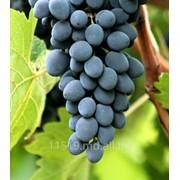 Виноград сорт Молдова фото