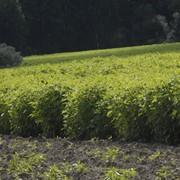 Сельскохозяйственная продукция (картофель, топинамбур, зерновые) фото
