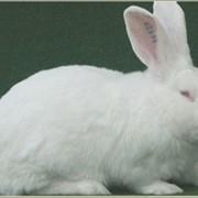 Кролики Белый Паннон фото