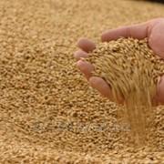 Пшеница на Экспорт от 500тн фото
