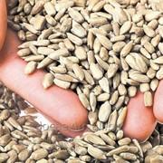 Ядро семян подсолнечника на экспорт фото