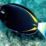 Рыба Черный хирург Acanthurus nigricans фото