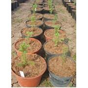 Выращивание эксперементальное Ель обыкновенная Picea abies фото