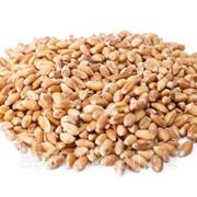 Пшеница, яровая, урожай 2015, доставка фото