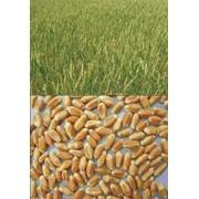Выведение новых сортов пшеницы, ячменя, кукурузы, сои, гороха. фото