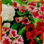 Семена комнатного растения Глоксиния гибридная Аванти F1 фото