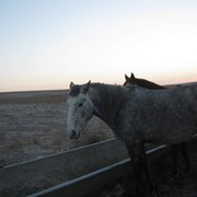 Лошади Орловские Россииские полукровные, Лошади фото