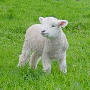 Мясо овец фото