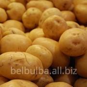 Картофель сорт Джувел вторая репродукция фото