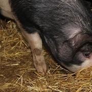Свежая свинина с домашней фермы фото