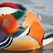 Утка-мандаринка фото