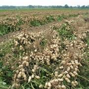 Земляной орех арахис в скорлупе фото