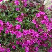 Тимьян ползучий (Thymus serpyllum) фото
