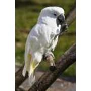 Попугаи Белый какаду фото