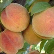 Плоды персика фото