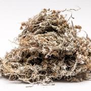 Сушеница топяная (трава) 50г фото