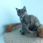 Мейн-кун котята из питомника (г.Минск) в разведение и для души фото