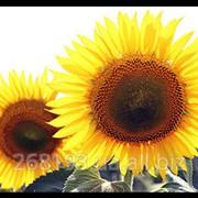 Семена гибридов подсолнечника Армагедон- Стандарт фото
