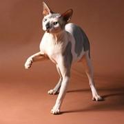 Порода кошек Канадский Сфинкс фото