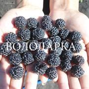 Саженцы малины черноплодной фото