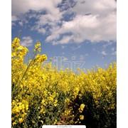 Рапс (семена) фото