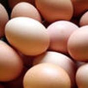 Яйцa куриные инкубационные фото
