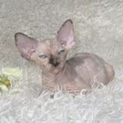Котята канадские сфинксы Talialida Lullaby фото