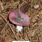 Грибы сыроежки фото