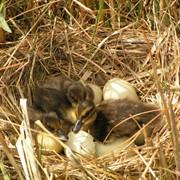 Яйца утиные инкубационные фото