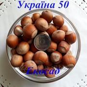 Саженцы фундука сорт Украина 50 2-х лет фото