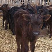 Заменитель Цельного Молока Теленок Junior ( на растительной основе) от 40 дня телятам фото