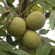 Орех грецкий черный, Juglans nigra фото
