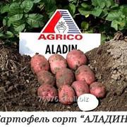 Картофель посадочный, сорт «АЛАДИН» фото