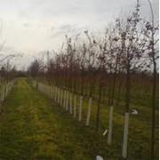 Разбивка плодовых садов фото