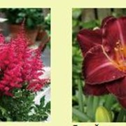 Многолетние цветы фото