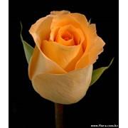 Роза Queensday фото