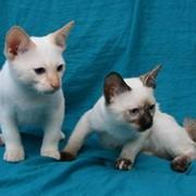 Разведение котят меконгского бобтейла фото