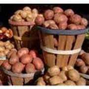 Семенной картофель отличных сортов: невская, санте, фантазия. фото