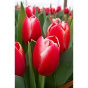 Сорт тюльпана KUNG FU фото