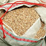 Пшеница озимая (белорусский сорт) Сюита (Suita) фото
