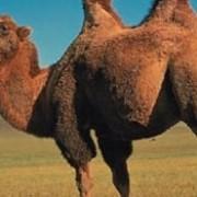Ветеринарные препараты для верблюдов в Алматы фото