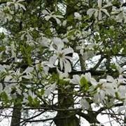 Магнолия Magnolia kobus Isis PBR 200 – 220 фото