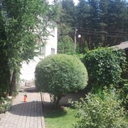 Обрезка и топиарная стрижка деревьев фото
