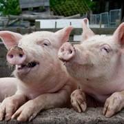 Премикс 4% для лактирующих свиноматок, Германия фото