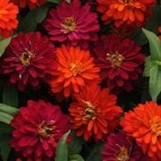 Семена цветов Циннии Сахара F1 100 шт. смесь фото