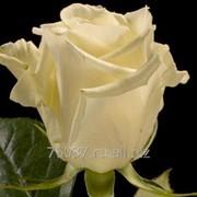 Роза eskimo фото