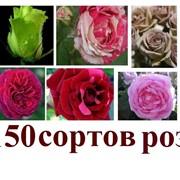 Саженцы роз в Молдове фото